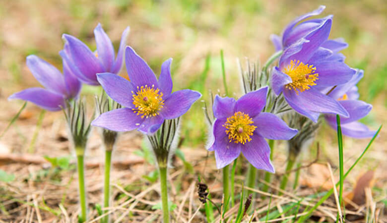 American Pasqueflower South Dakota State Flower