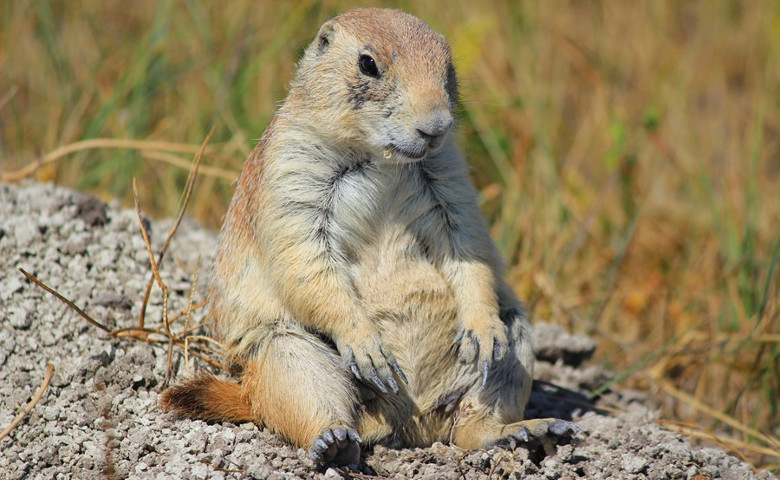 Roberts Prairie Dog Town Badlands South Dakota