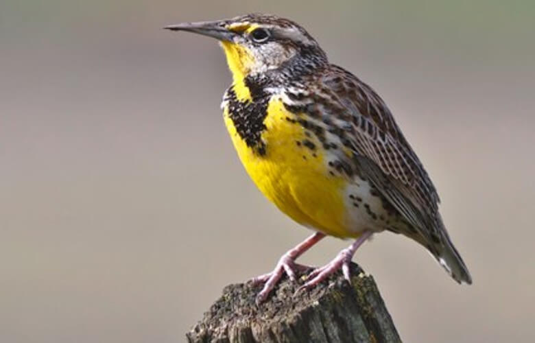 Western Meadowlark North Dakota State Bird